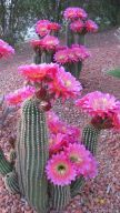 Stunning desert garden ideas for home yard 47