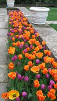Beauty Tulips Arrangement for Home Garden 24