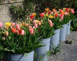 Beauty Tulips Arrangement for Home Garden 25