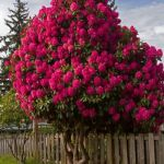 Beautiful Flowering Tree for Yard Landscaping 1