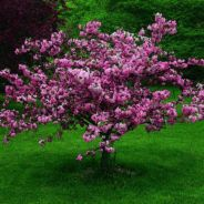 Beautiful Flowering Tree for Yard Landscaping 12