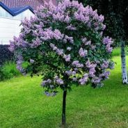 Beautiful Flowering Tree for Yard Landscaping 13