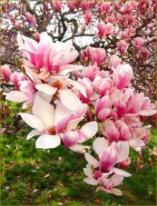 Beautiful Flowering Tree for Yard Landscaping 26