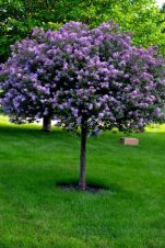 Beautiful Flowering Tree for Yard Landscaping 28