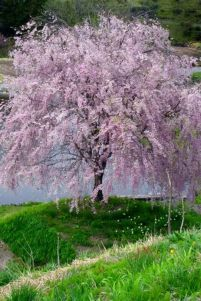 Beautiful Flowering Tree for Yard Landscaping 36