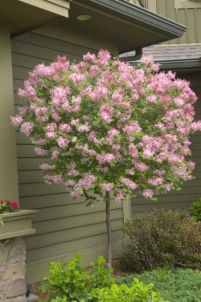 Beautiful Flowering Tree for Yard Landscaping 38