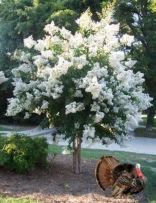 Beautiful Flowering Tree for Yard Landscaping 8