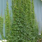 Impressive Climber and Creeper Wall Plants Ideas 28