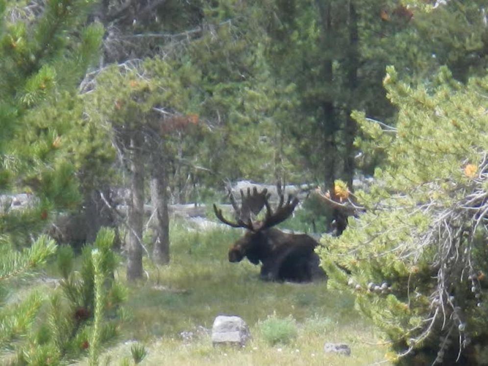 Large Resting Moose