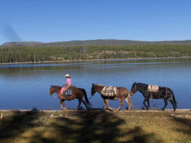 Rider Leading Mules