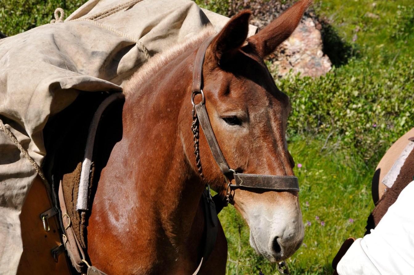 Pretty Mule