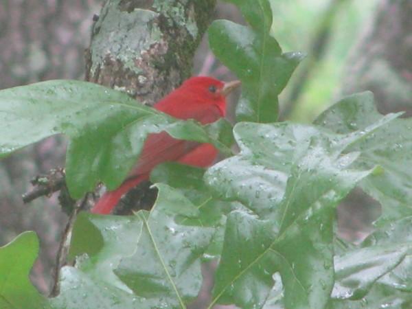 Red bird close up