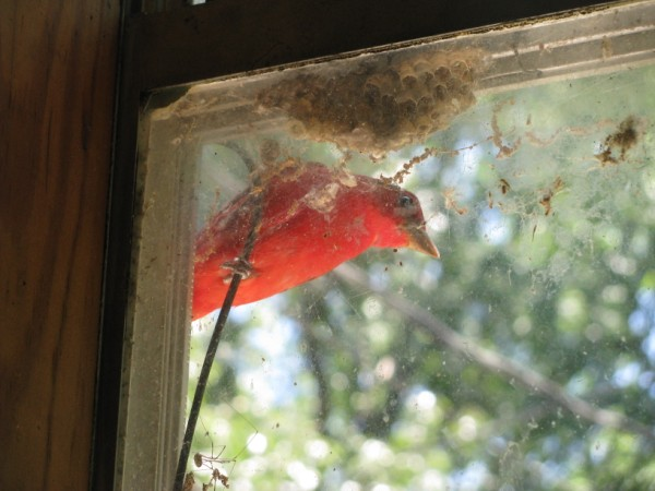 Red bird in window