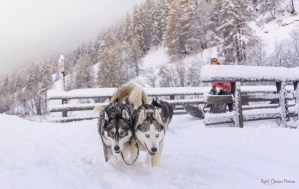 Husky et chien de traineau