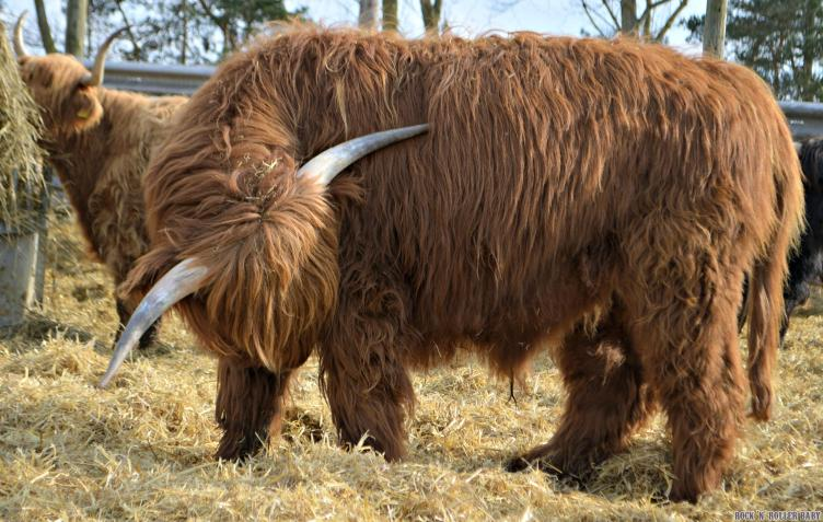Some people are just born devil horn cows - leave em to it!