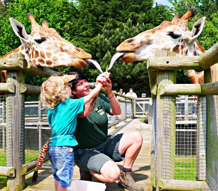 Giraffe feeding at Banham Zoo!