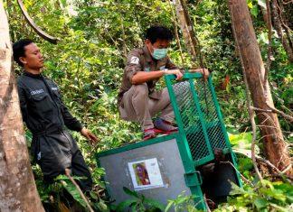 bridgestone orangutan