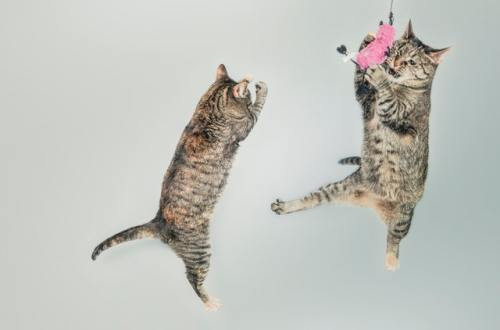legi pisicești