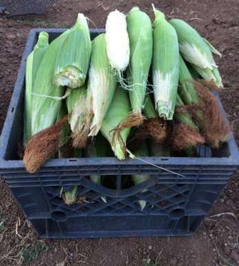 Corn that survive the goat attack