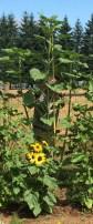 Our tallest sunflower was eleven feet!