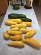 First harvest of summer squash.