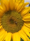 The honeybee is all but invisible on this sunflower.
