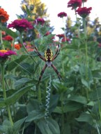 This large garden spider in the zinnias wove a zig zag web stabilizer.