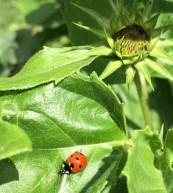 Ladybug and sunflower.