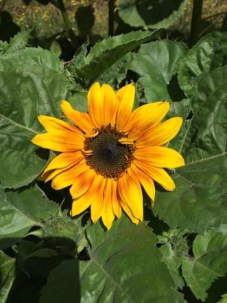 Gradient sunflower.