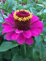 Crowned zinnia.