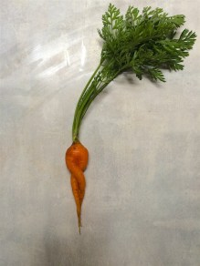 Thanks to the moles, this was our entire carrot harvest.