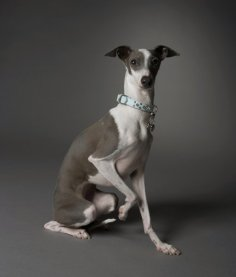 Image from http://mom.me/pets/dogs/19461-cool-facts-about-greyhounds/.