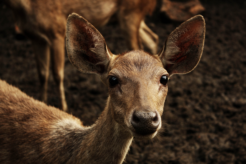 Le Meilleur Rusa Deer Conservation In Sutherland Shire Ce Mois Ci