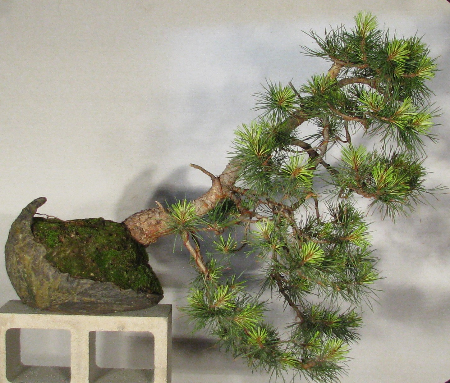 Pinus Contorta Taylors Sunburst Bonsai Colorado Rocky Mountain Tree Wiring Video One Year I Saw This Really Neat Landscape Pine Growing At Pauline Gardens Nursery In Denver The Spring Ends Of Branches Were