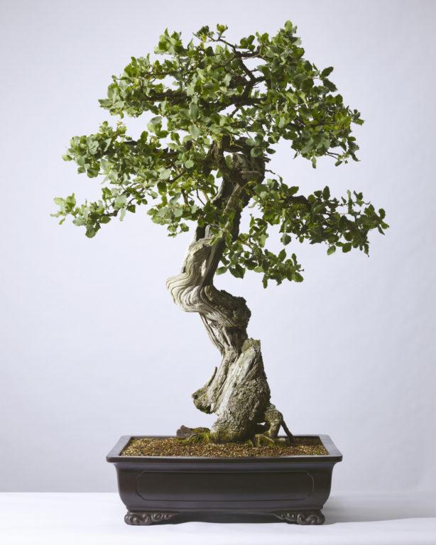 Quercus John Tuckeri Tucker Oak Colorado Rocky Mountain Bonsai Suiseki