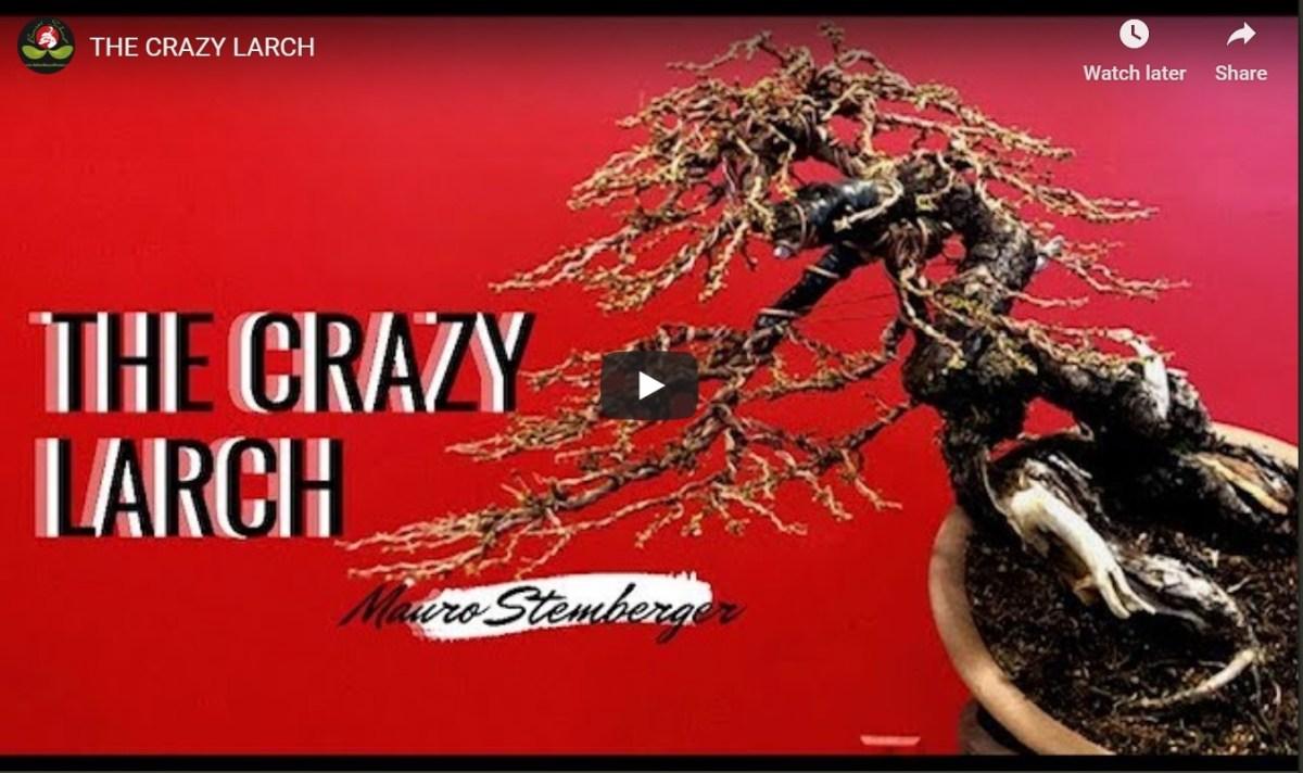 Colorado Bonsai The Crazy Larch Colorado Rocky Mountain Bonsai Suiseki