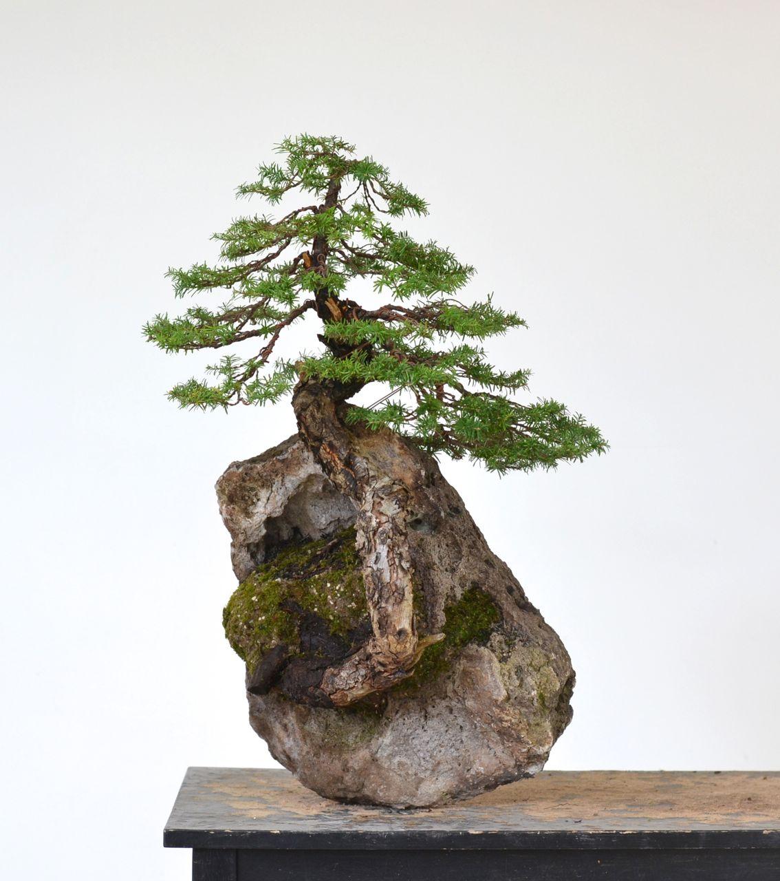 Tsuga Heterophylla Western Hemlock Colorado Rocky Mountain Bonsai Suiseki