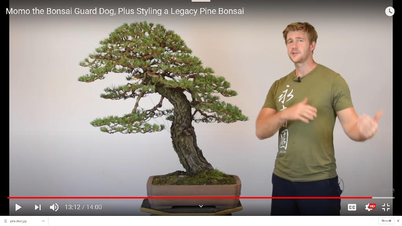 Pinus Sylvestris Scots Pine Colorado Rocky Mountain Bonsai Suiseki