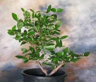 2018 Viburnum Burkwoodii Bonsai Tree #2 Before Reduction