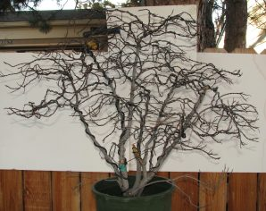 "Rhamnus frangula 'Asplenifolia' ""Fernleaf"" ""Buckthorn"" Bonsai"