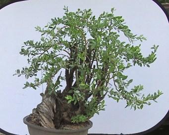 Salix bebbiana - Bebb's Willow Bonsai