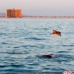 delfín y pelícano frente al Sonoran Sky en Puerto Peñasco
