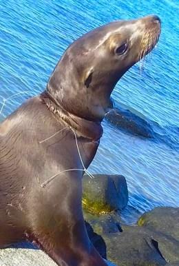 Pedro the Seal