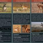 berrendo5 Efforts to preserve Sonoran Pronghorn Antelope