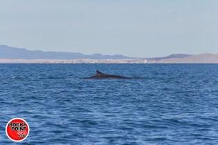 whales-feb21-2017-delmar (5)