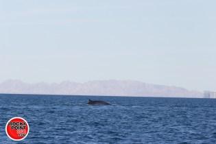 whales-feb21-2017-delmar (7)