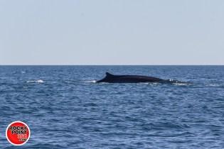 whales-feb21-2017-delmar (8)