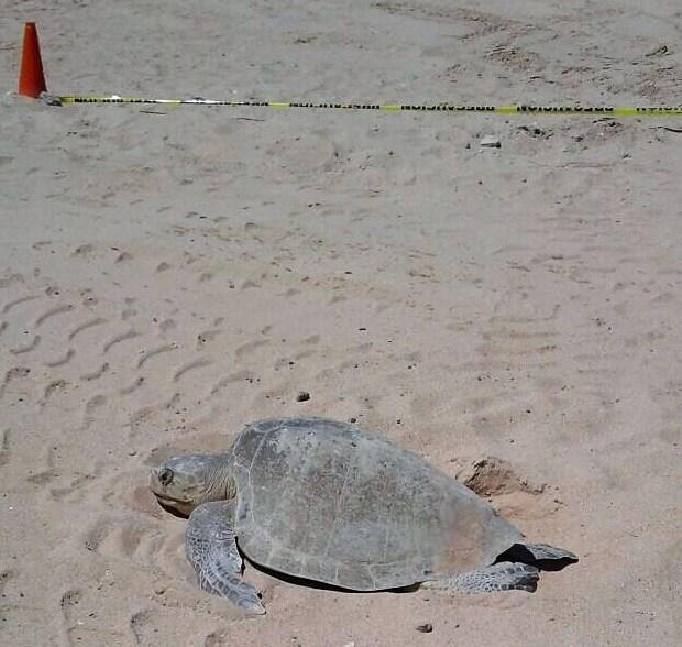 cedo-tortuga-2017 Puerto Peñasco had historic sea turtle nesting period in 2017