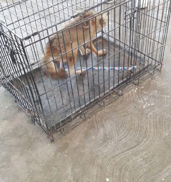 coyote2 Rescatan coyote en área del recinto portuario; liberan el ejemplar en el desierto