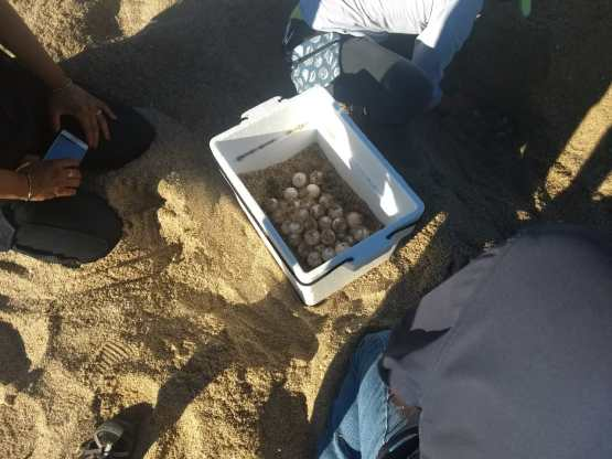 sept-2018-tortugas-2-1200x900 First turtle nest in Puerto Peñasco this season
